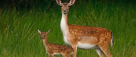 bo-deer_