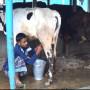 milking6