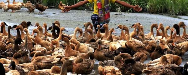 duckfarming