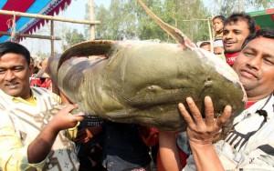 বগুড়ার ঐতিহ্যবাহী পোড়াদহ মেলায় মাছ উৎসব (ভিডিও)