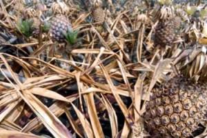 Tangail-Pineapple
