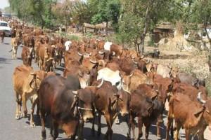 cow minis