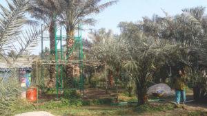 ময়মনসিংহে সৌদির খেজুর চাষ করে কোটিপতি মোতালেব