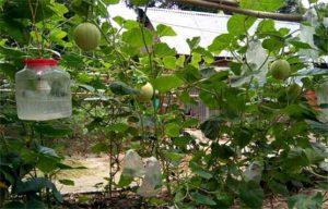 নরসিংদীতে ভিনদেশী রকমেলন চাষে সফলতা