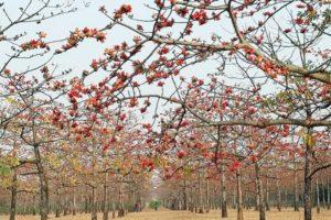 ফুলে ফুলে ছেয়ে গেছে তাহিরপুরের শিমুল বাগান, পর্যটকদের ভিড়