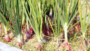 পেঁয়াজ বারি-৫: সারাবছর চাষযোগ্য, তিনগুণ বেশি ফলন